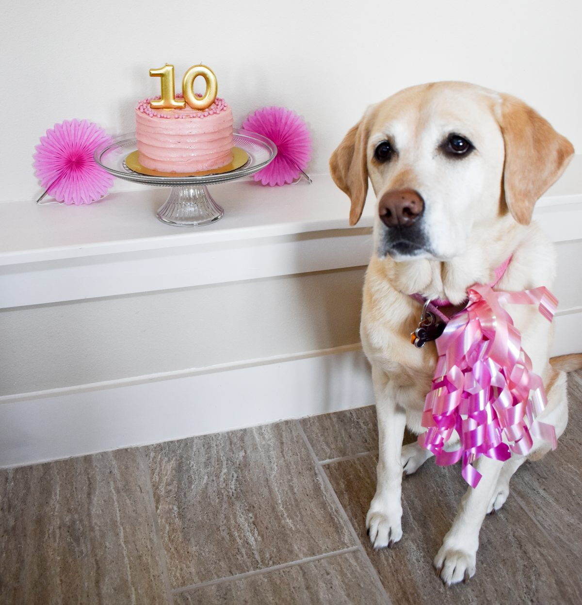 Yellow Labrador | 5 Reasons Why You Should Totally Throw a Birthday Party For Your Dog | Cathedrals and Cafes Blog